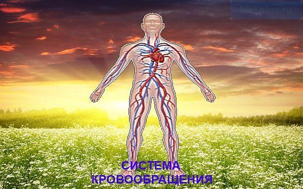 """alt=""""Кровеносная система человека"""""""