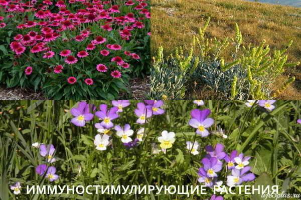 Растения для иммунитета
